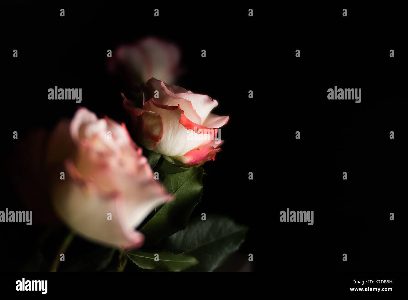 Close-up roses against black background - Stock Image