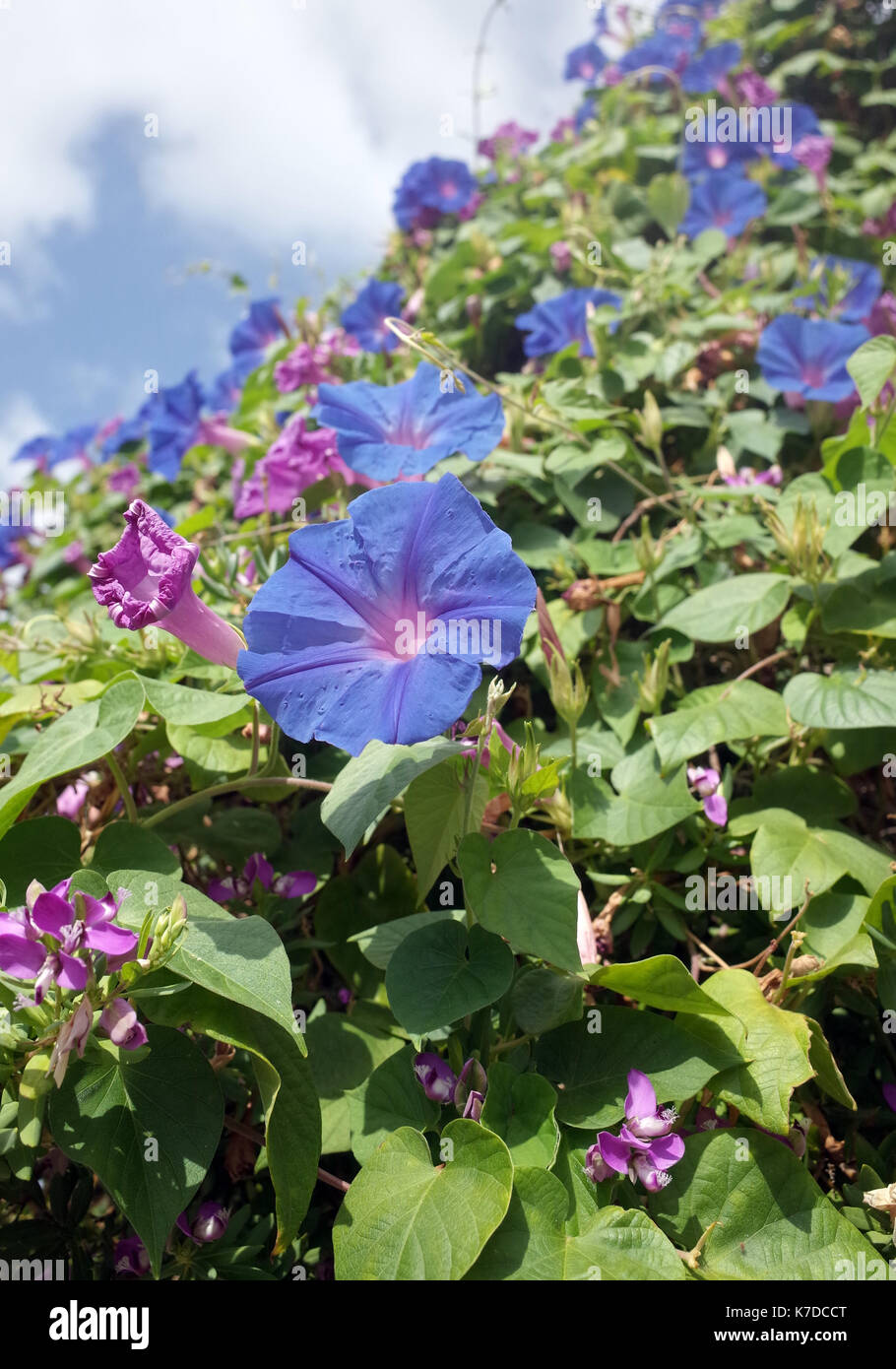 Morning glory heavenly blue (ipomoea tricolor) - Stock Image