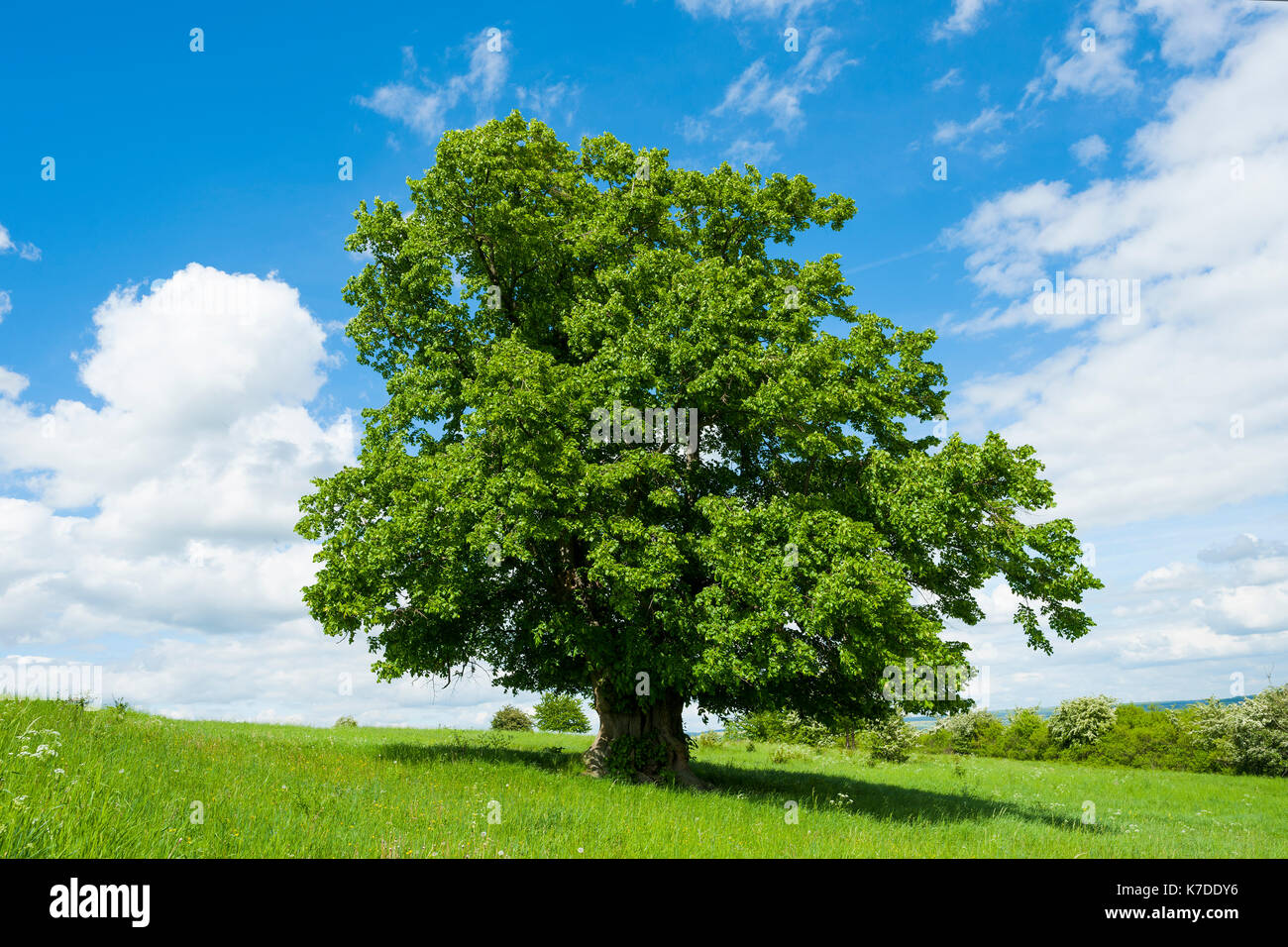 Old Large-leaved Linden (Tilia platyphyllos), solitary tree, 400 years old, Thuringia, Germany Stock Photo