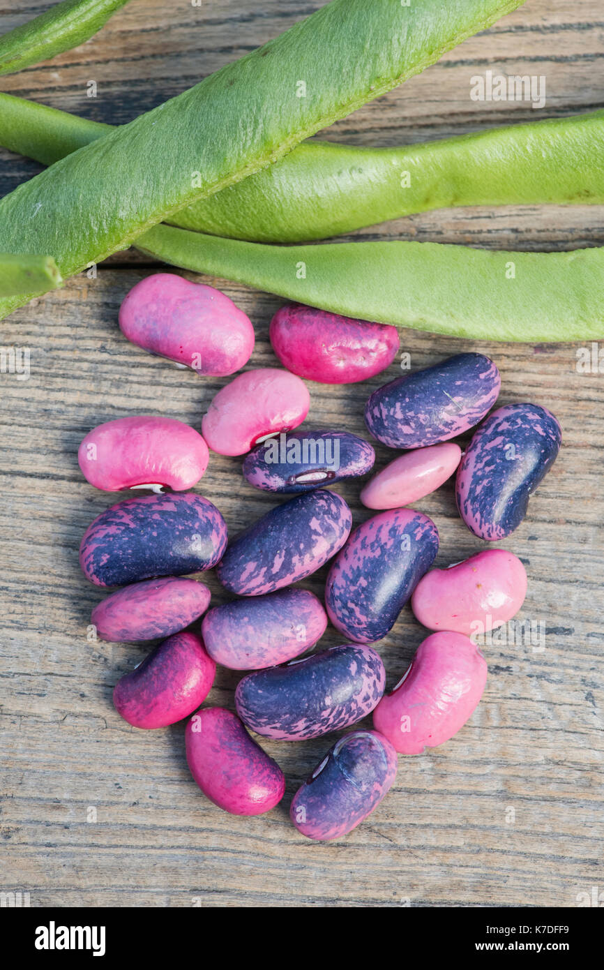 Phaseolus coccineus. Runner bean 'Scarlet Emperor' seeds and seed pods. Stock Photo