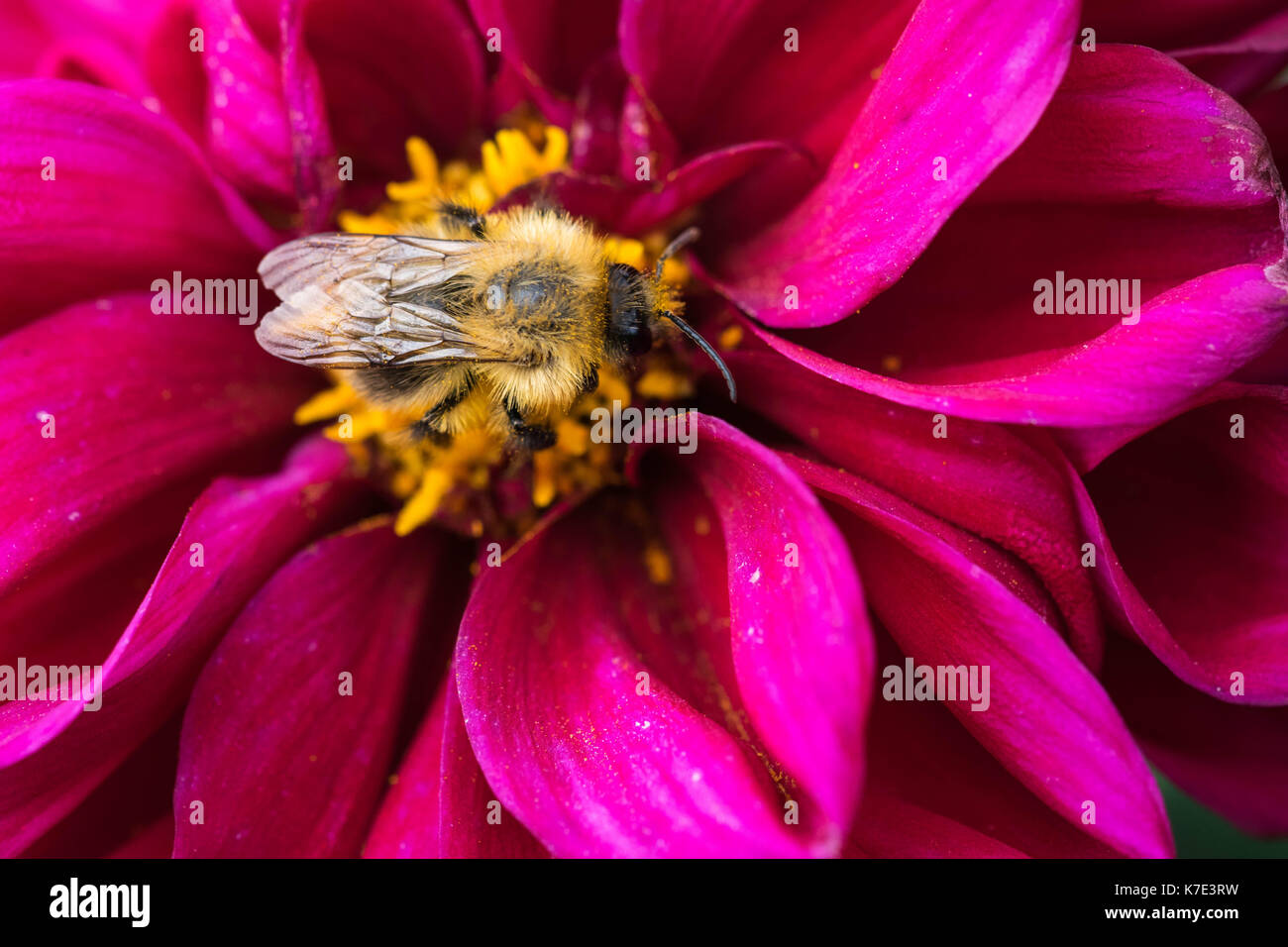 bee collecting nectar on beautiful flowers. - Stock Image