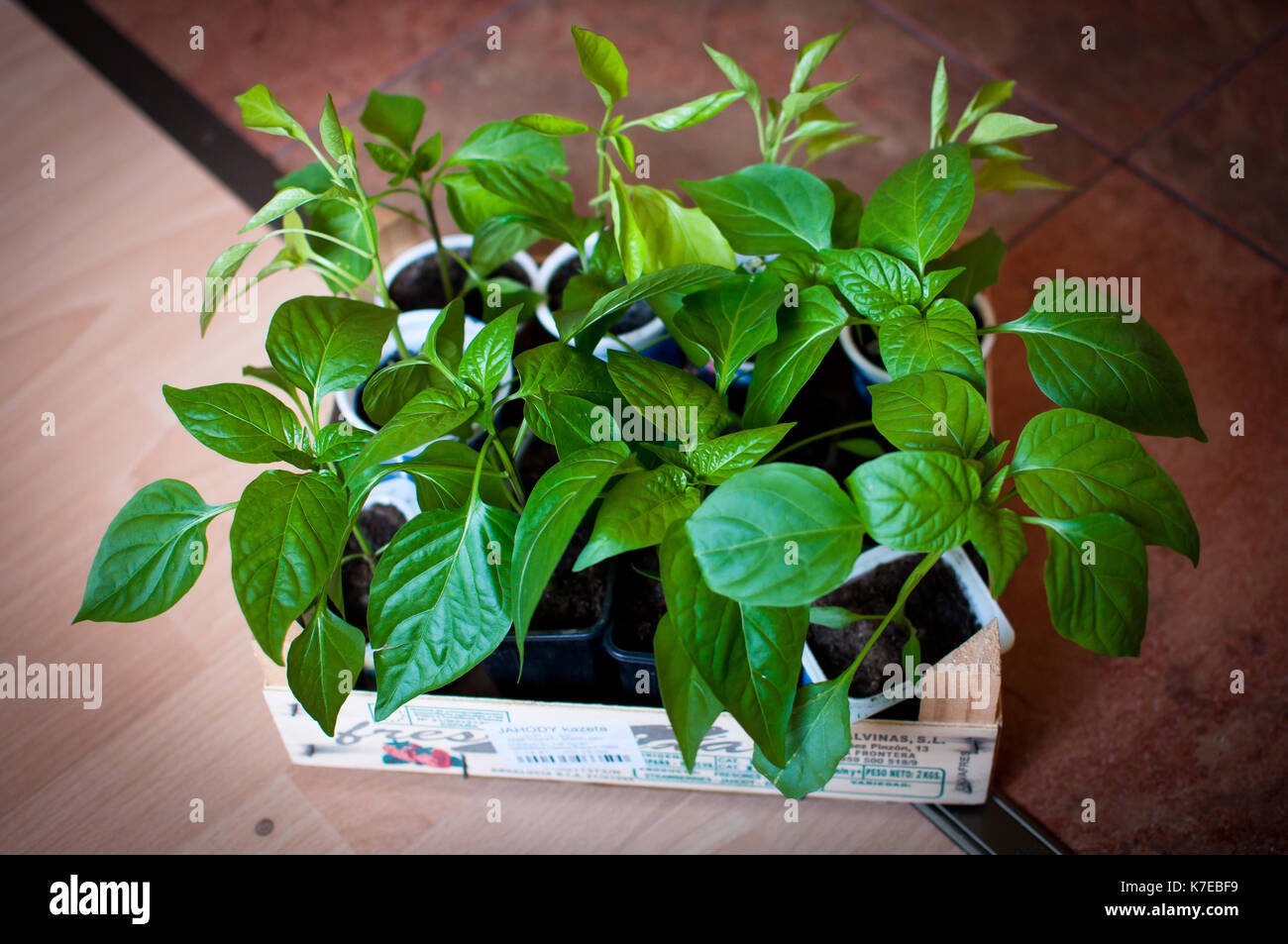 herbs and vegetable plantes grown up in my garden - Stock Image