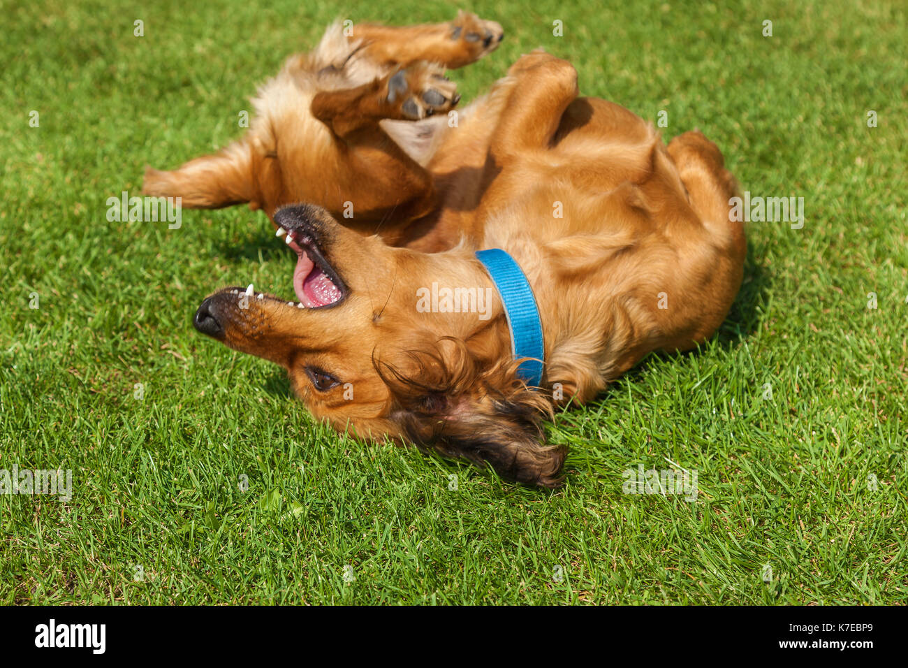 dog lying on back on green grass,mixed spaniel dogs spaniel - Stock Image
