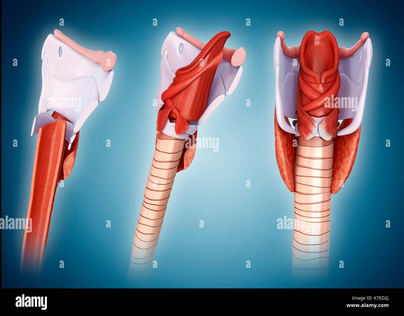 Cartilage Tissue Stock Photos Amp Cartilage Tissue Stock