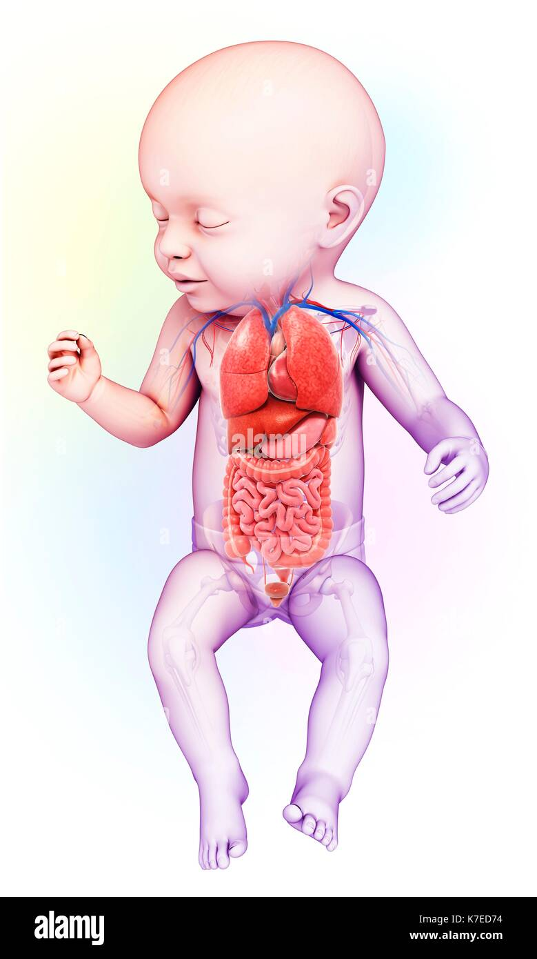 Illustration of a baby\'s body organs Stock Photo: 159513624 - Alamy