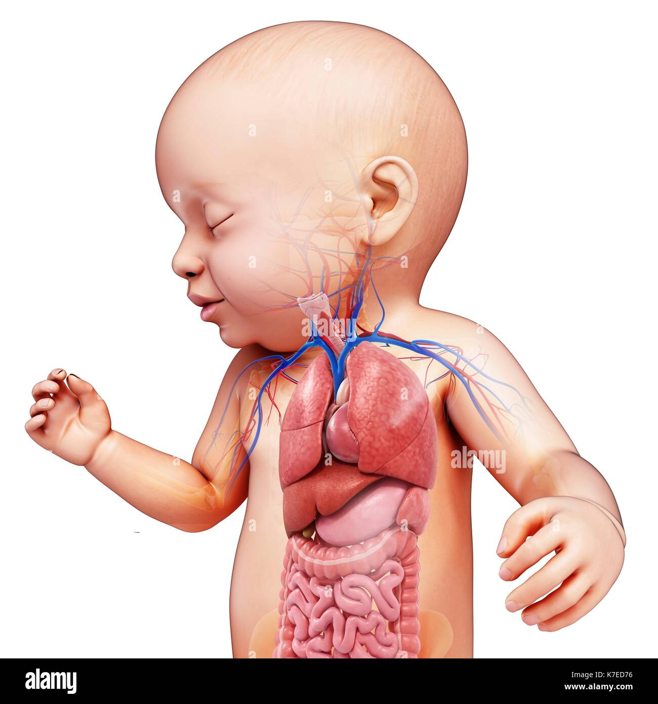 Illustration of a baby\'s body organs Stock Photo: 159513626 - Alamy