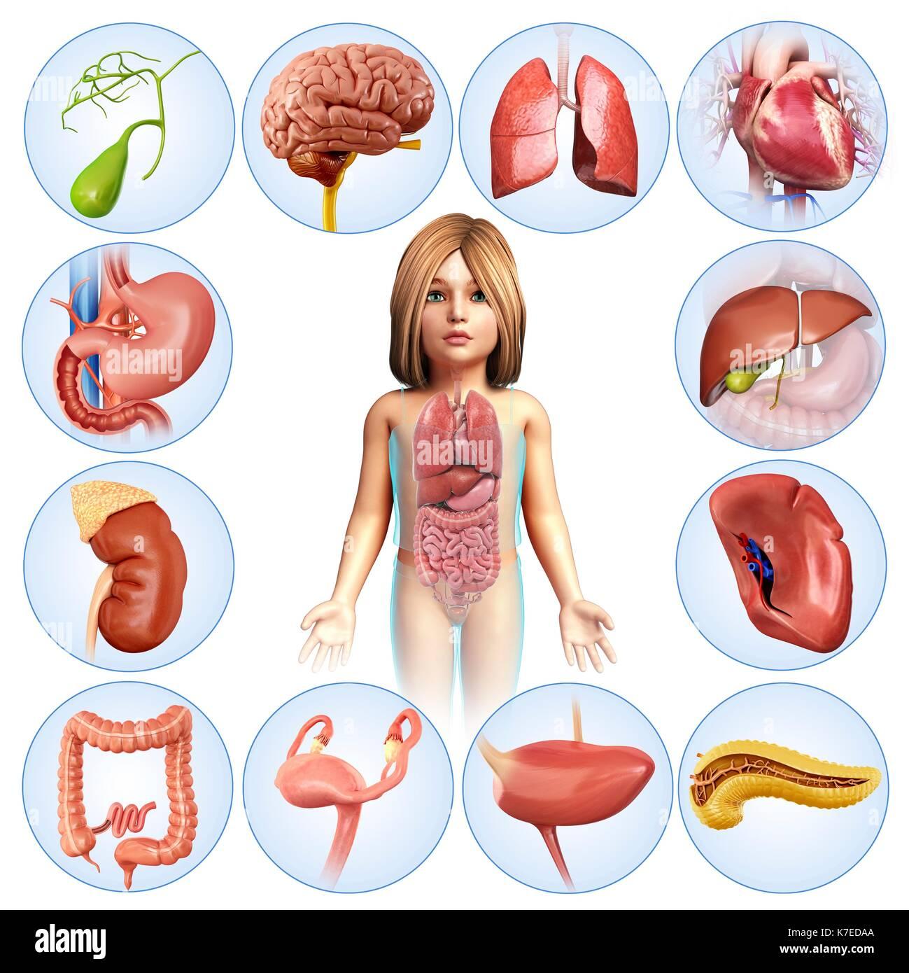 Illustration of a child\'s internal organs (gall bladder, brain Stock ...