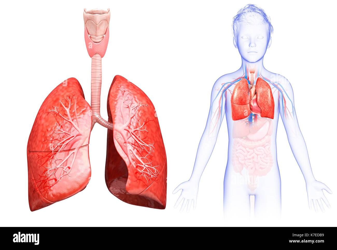 Lung Anatomy Child Stock Photos & Lung Anatomy Child Stock Images ...