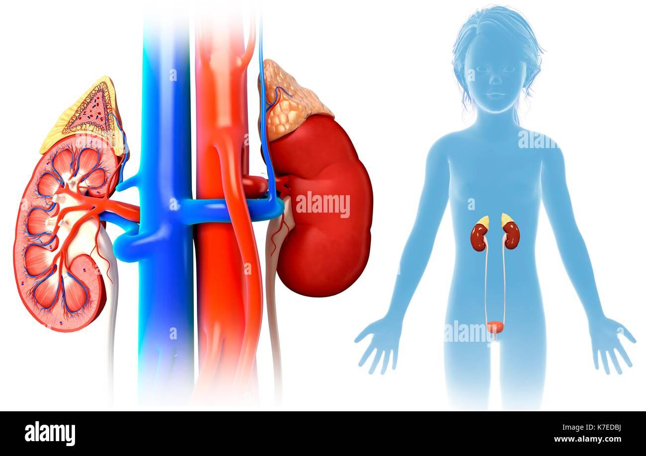 Human Kidney Child Stock Photos & Human Kidney Child Stock Images ...