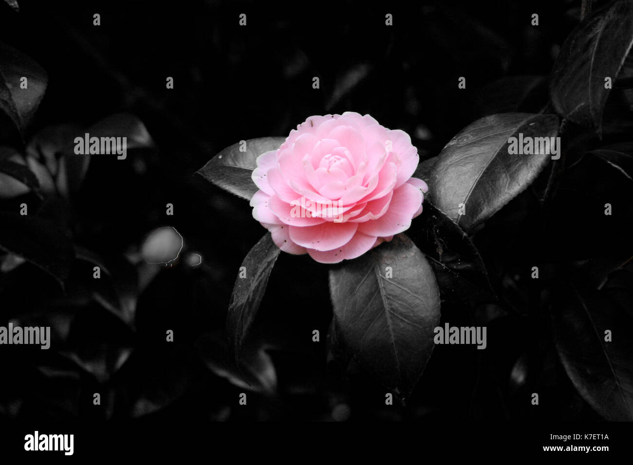 Flower blooming with a B/W background - Stock Image