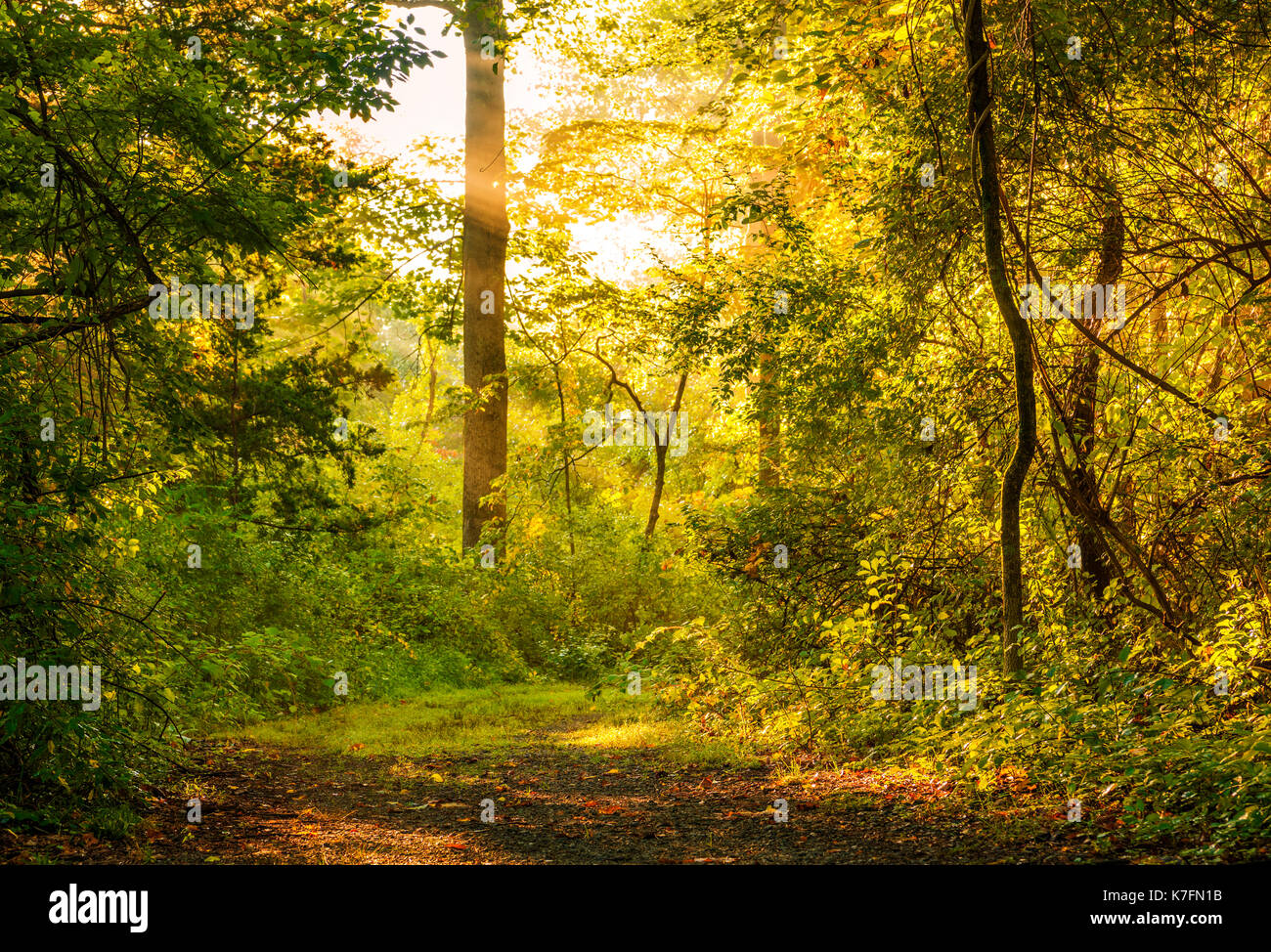 Beautiful Morning Forest Background With Sun Rays Over The Path