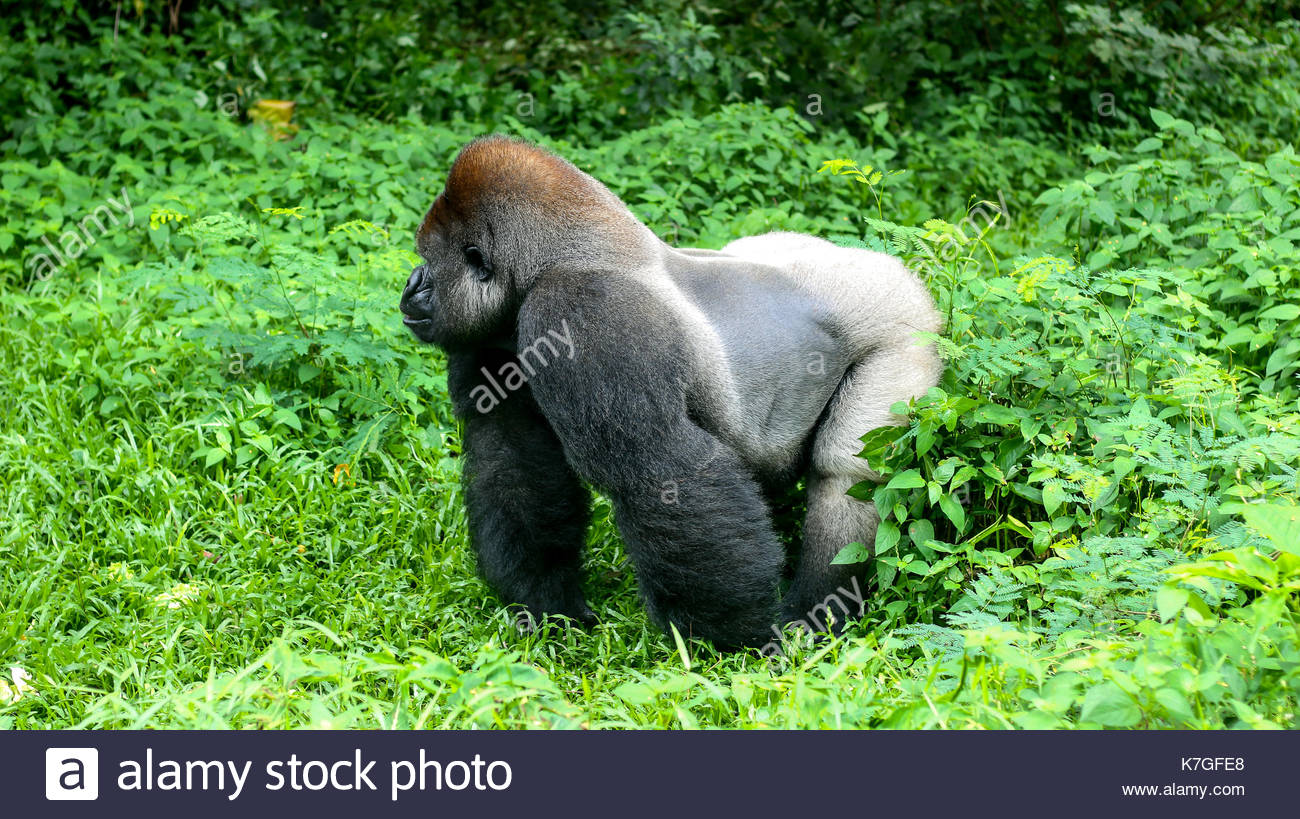 Big One Gorilla Silverback Mountain - Stock Image