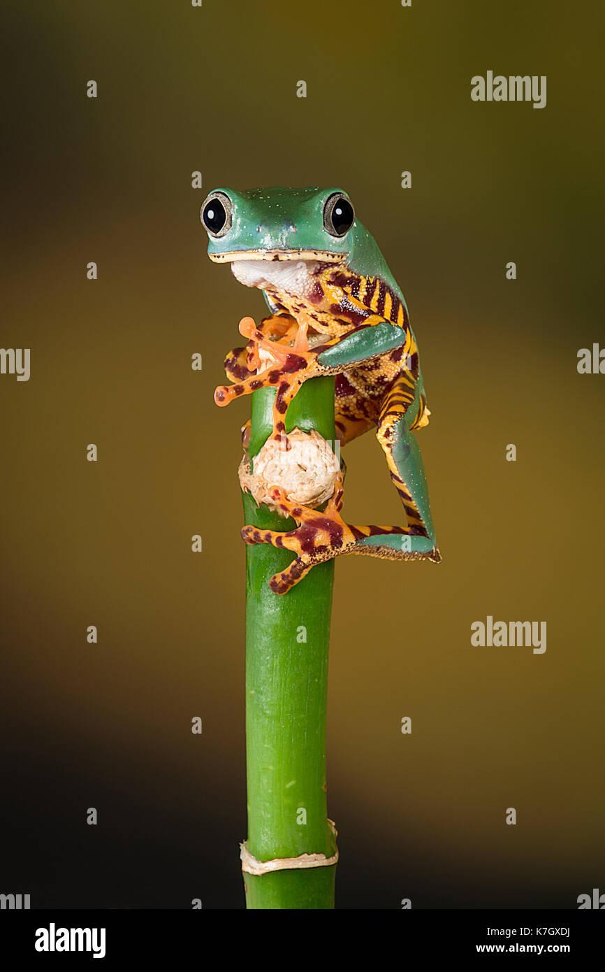 close image of a tiger leg tree frog balancing on the top of a bamboo shoot and staring forward - Stock Image