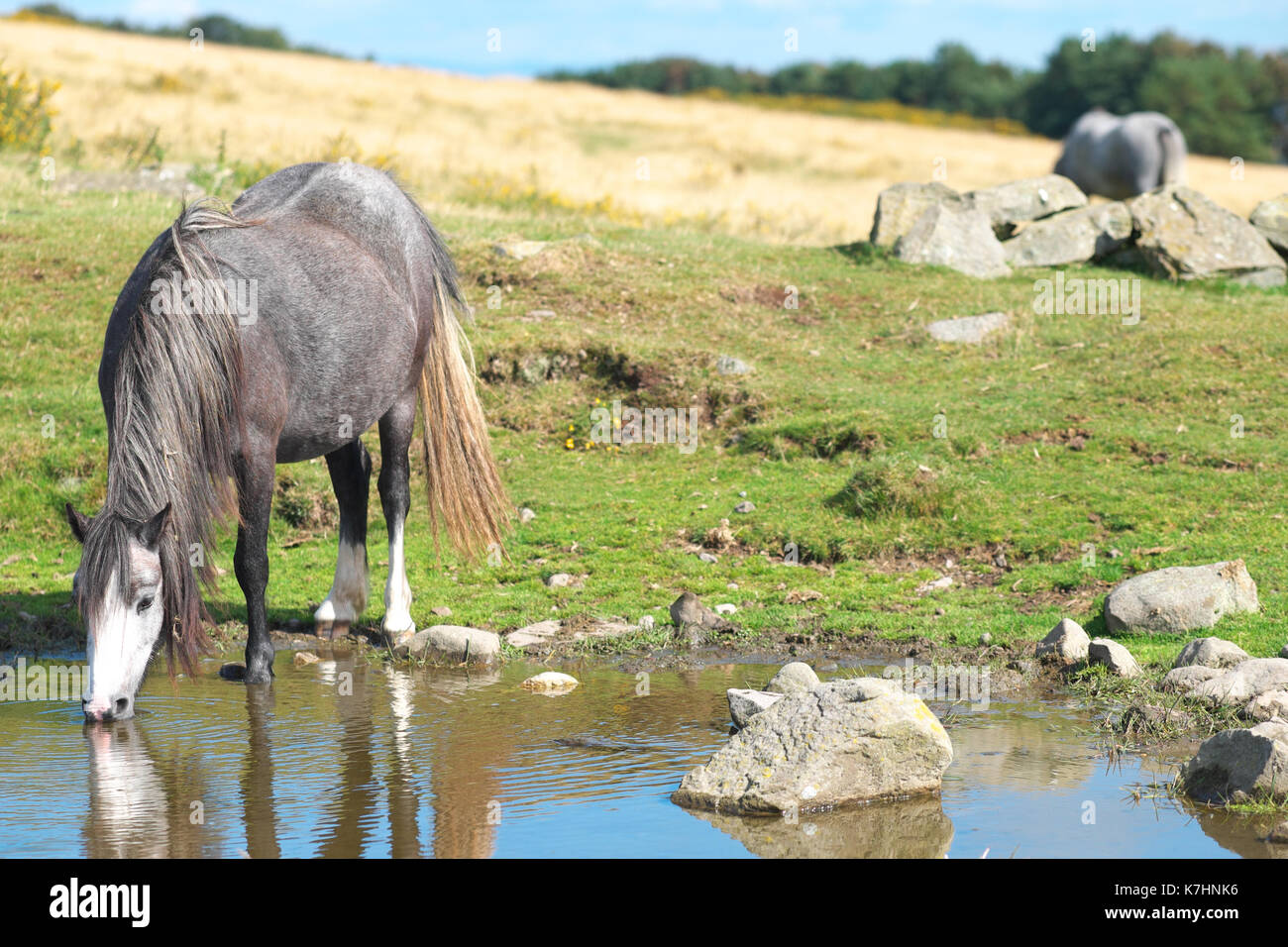 Hergest Ridge, Herefordshire, UK September, 2017. - A beautiful early autumn afternoon with temperatues up to 15c on the 426m high Hergest Ridge - Hergest Ridge straddles the border with Wales and is home to a small herd of wild ponies. Credit: Steven May/Alamy Live News - Stock Image