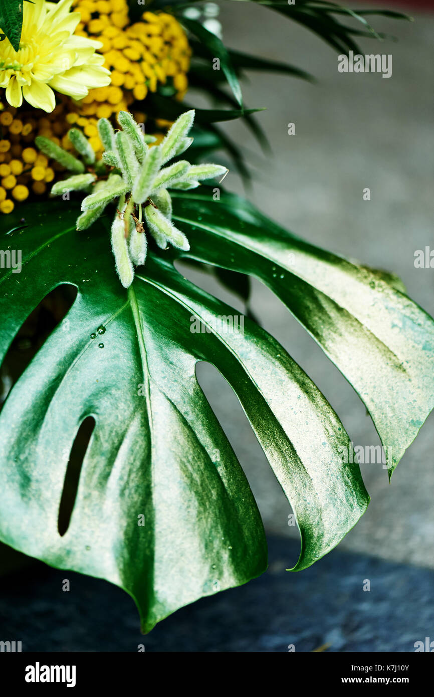 Leaf monstera, painted with gold paint from yellow flowers.Exotic plants - Stock Image