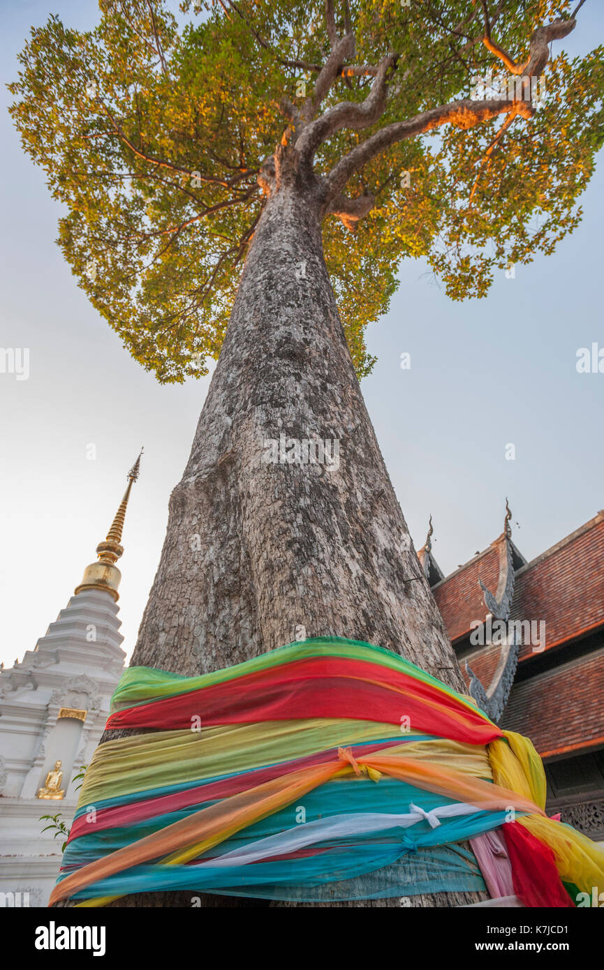 Mighty tall Spirit Tree at Wat Chedi Luang Temple in Chiang Mai, Thailand - Stock Image