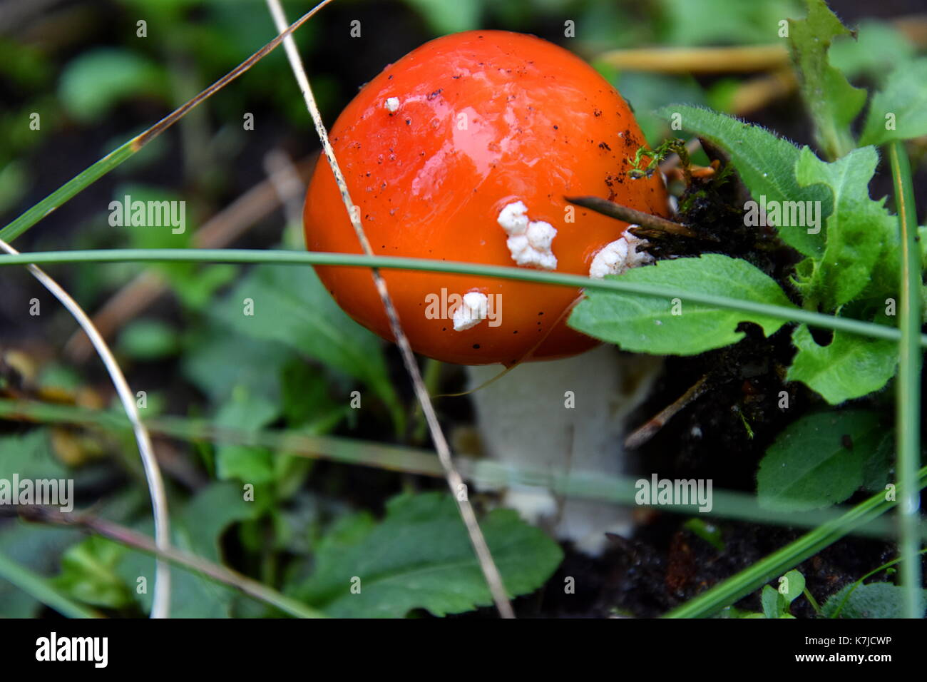 toadstool - Stock Image