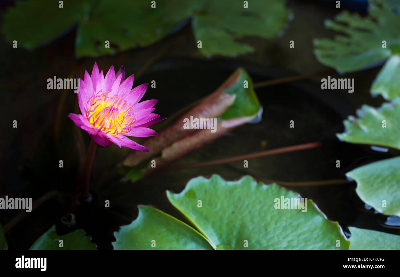 The purple lotus flower in the peaceful pond stock photo 159613610 the purple lotus flower in the peaceful pond izmirmasajfo