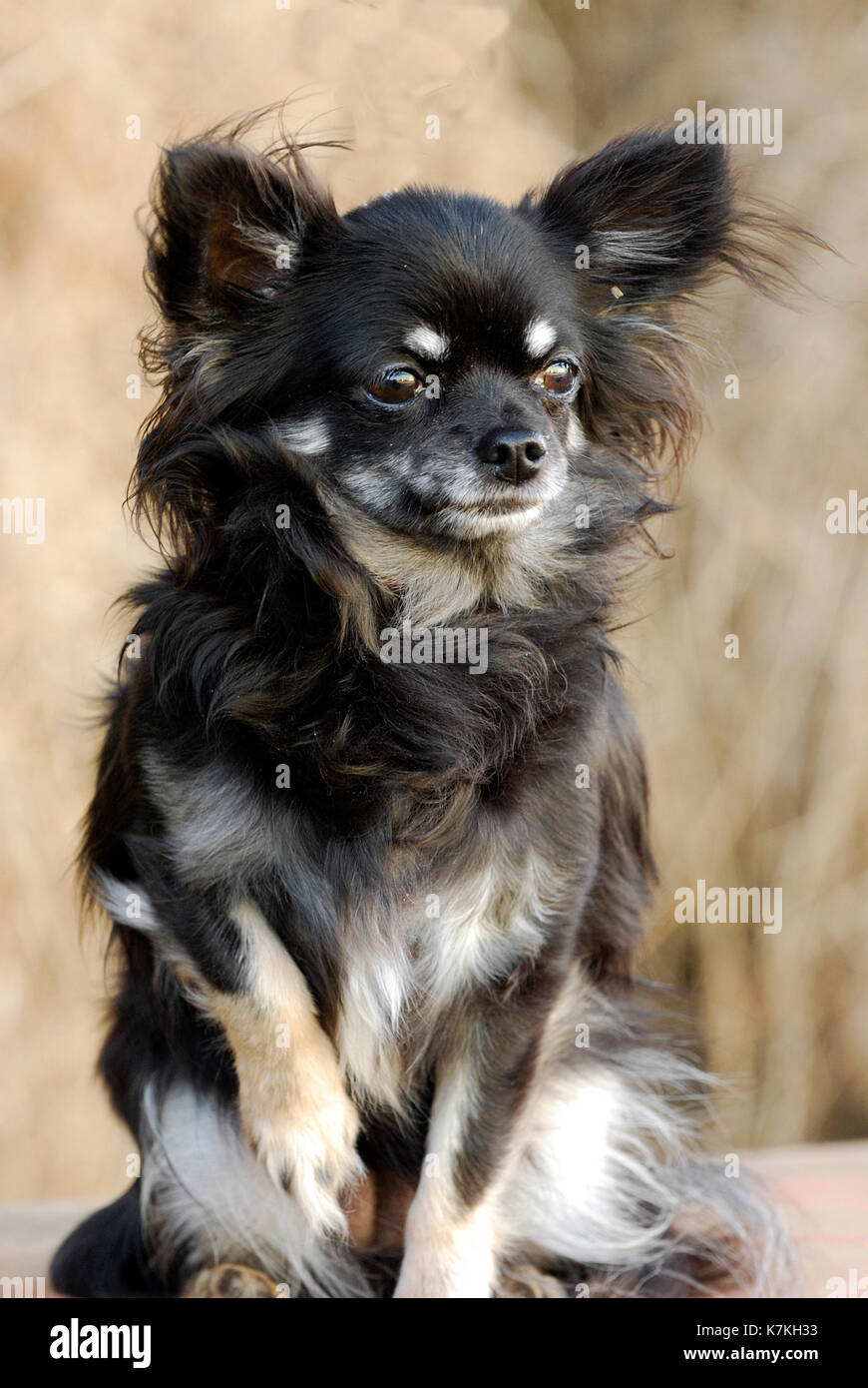 Cute puppy dog, a long-haired chihuahua, black, brown and caramel long coat - Stock Image