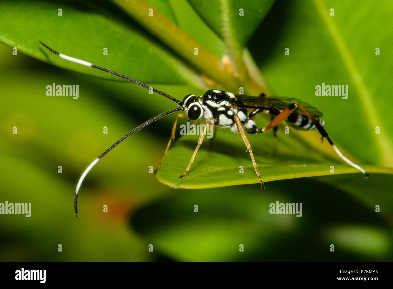 Black and White Striped Ichneumon Wasp. - Stock Image