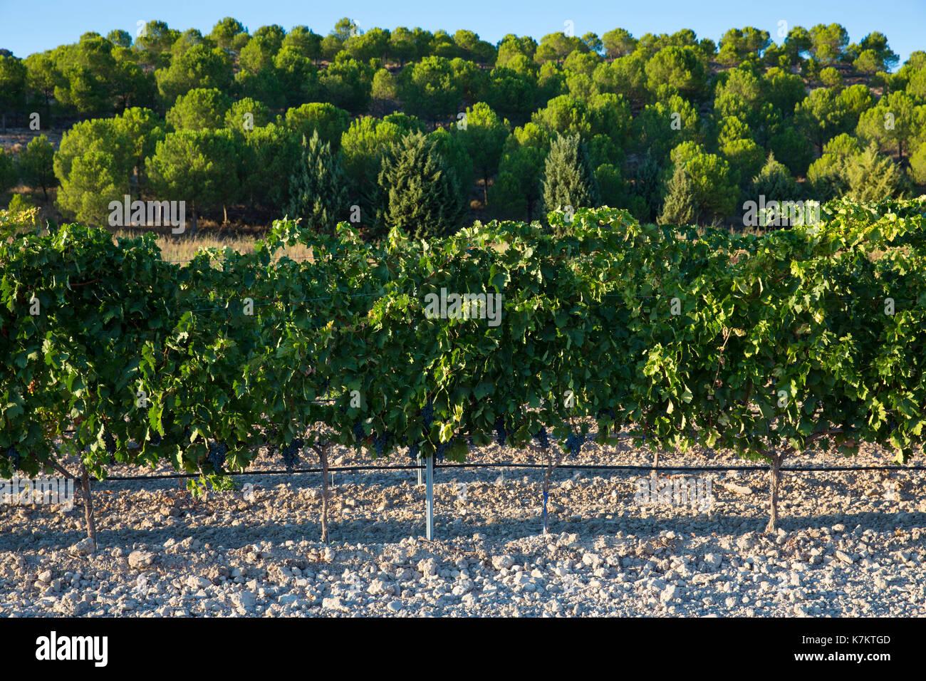 Vineyard in ribera del Duero wine production area, Valladolid,  Spain - Stock Image
