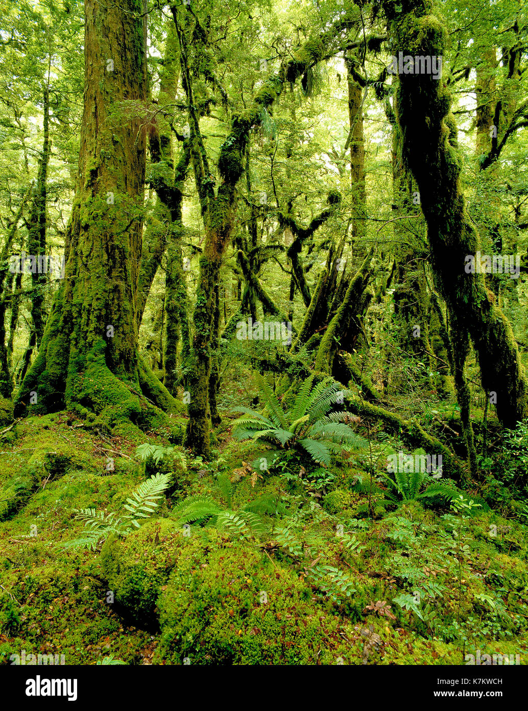 New Zealand. South Island. Moss covered rainforest. - Stock Image