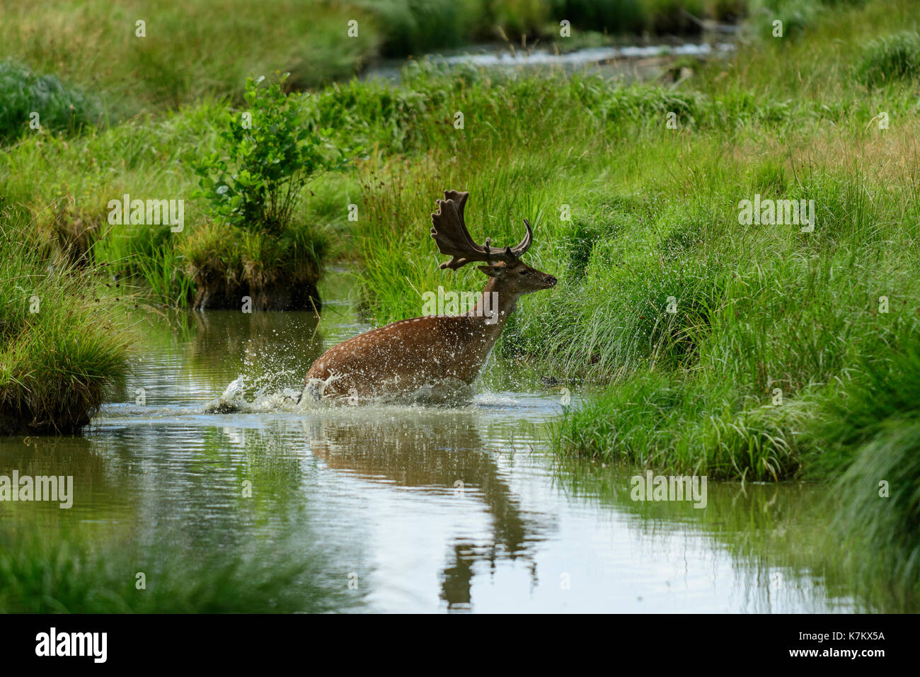 Fallow deer jumping and splashing through water - Stock Image