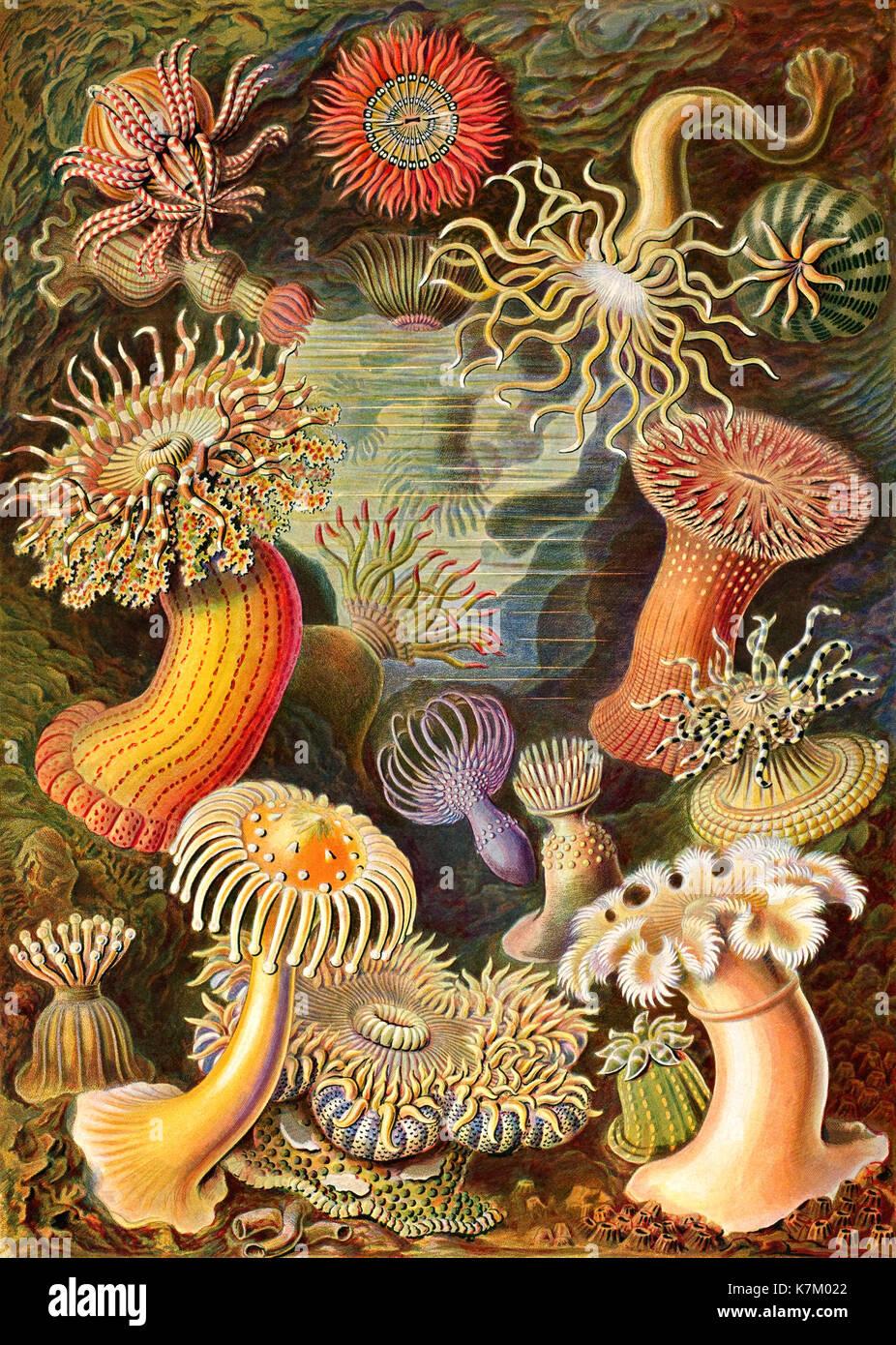 ERNST HAECKEL (1834-1919) German biologist, physician,naturalist. Sea anemones from his Kunstformen de Natur (Art forms of nature) published 1904 - Stock Image