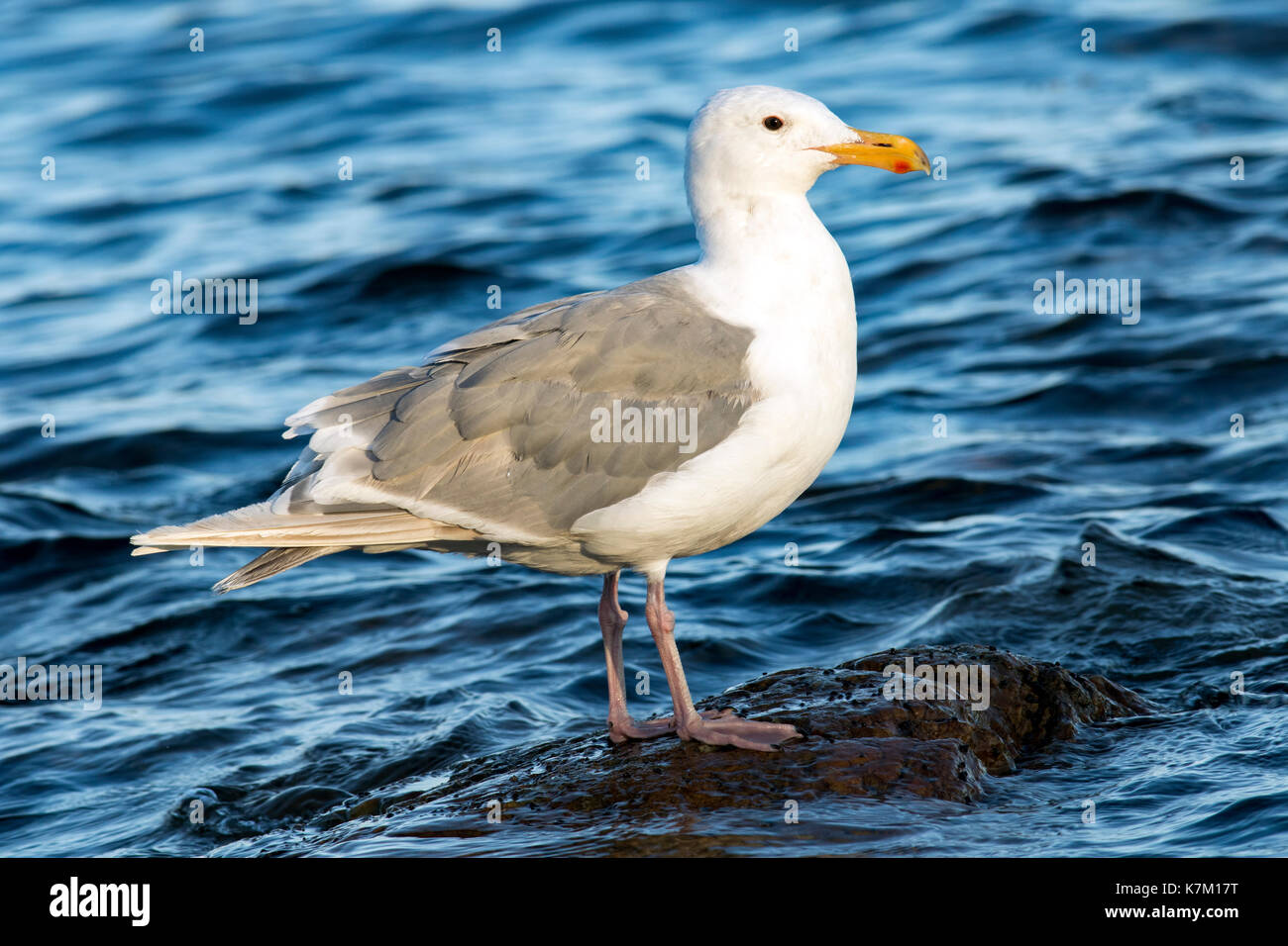 Glaucous-winged Gull (Larus glaucescens) - Cattle Point, Uplands Park, Oak Bay, Victoria, Vancouver Island, British Columbia, Canada - Stock Image