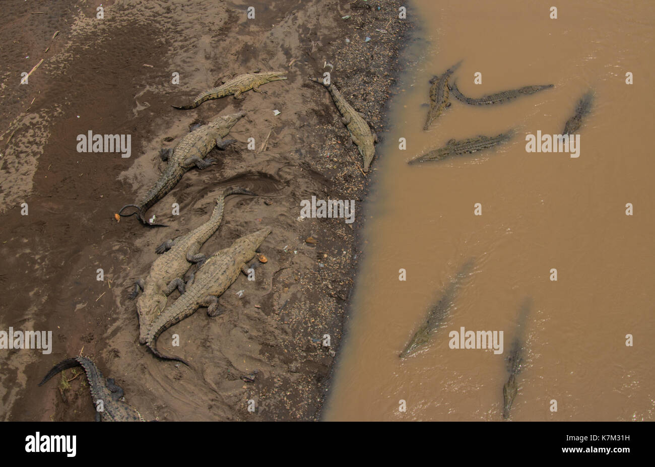 Crocodiles Bathing at Tarcoles River (Costa Rica) - Stock Image
