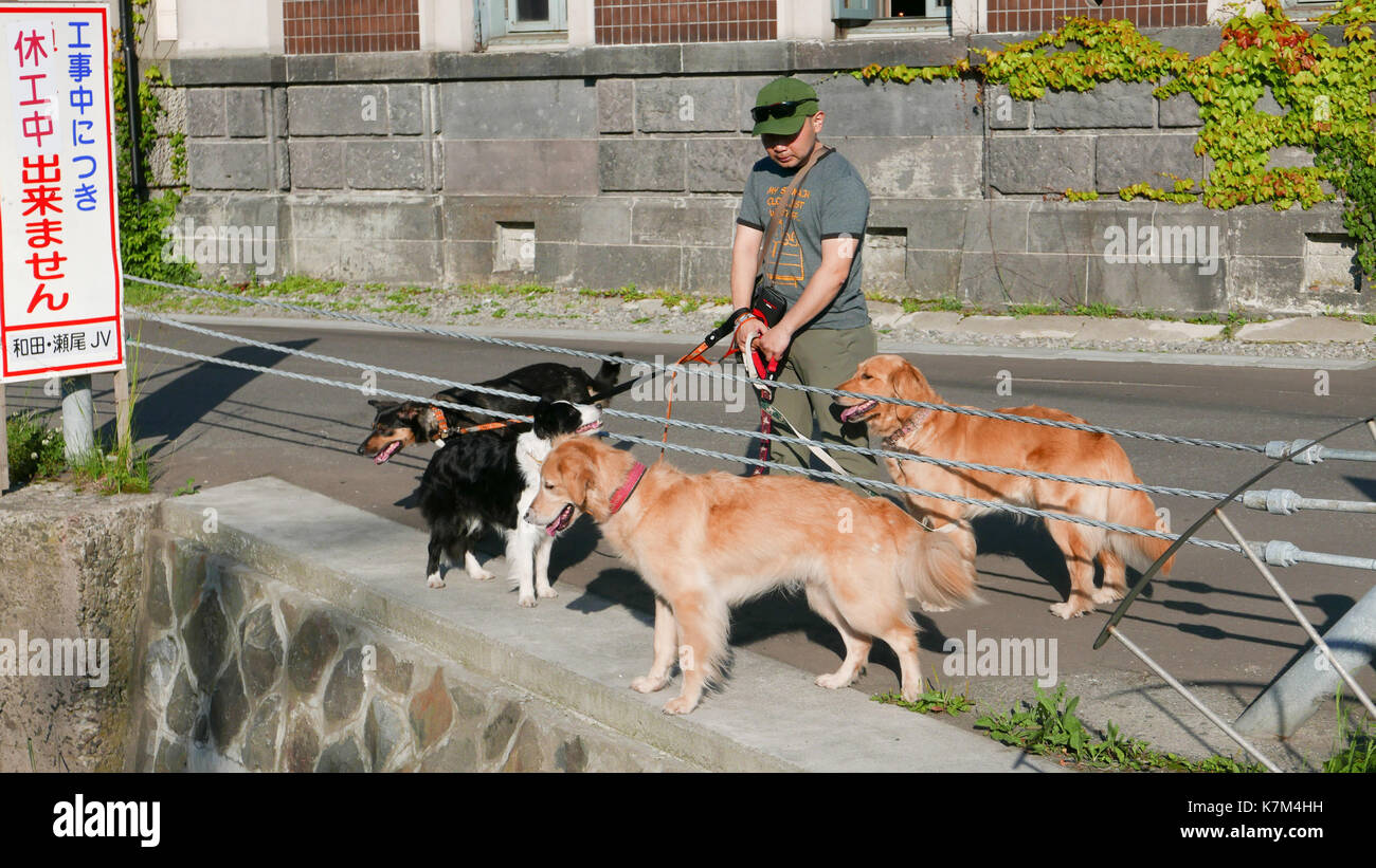 Japanese man walking four dogs, two golden retrievers, with Japanese language sign and stone wall in background in Otaru, Japan in tourist area. - Stock Image