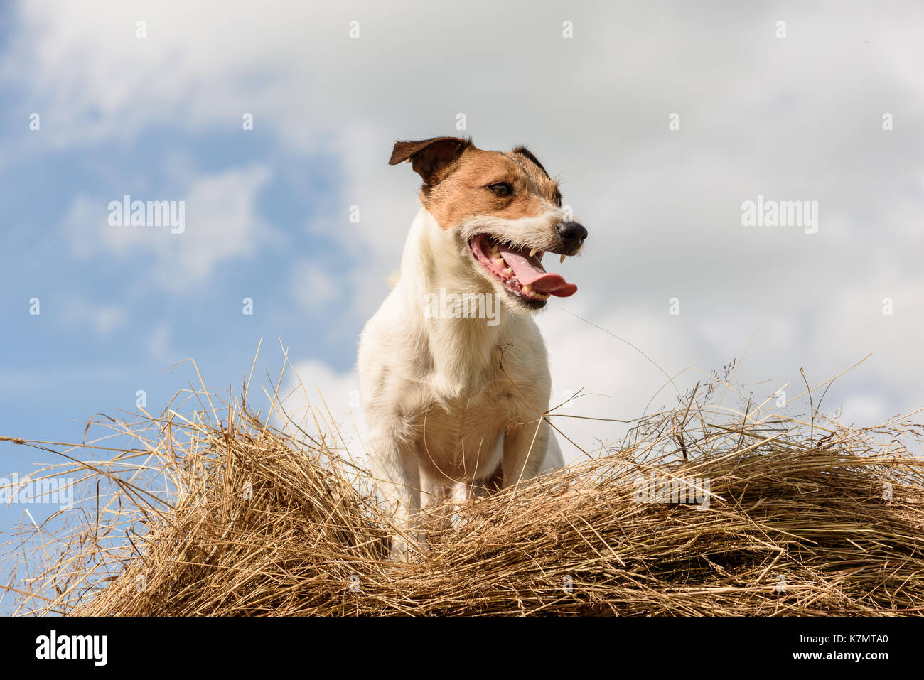 Summer rustic scene with dog on hay bale at hot day - Stock Image