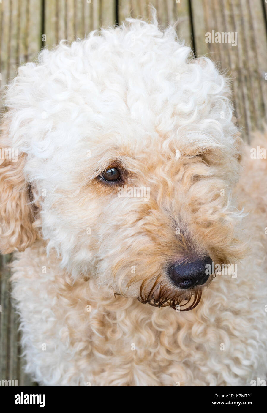Big Dogs With Short Curly Hair 25
