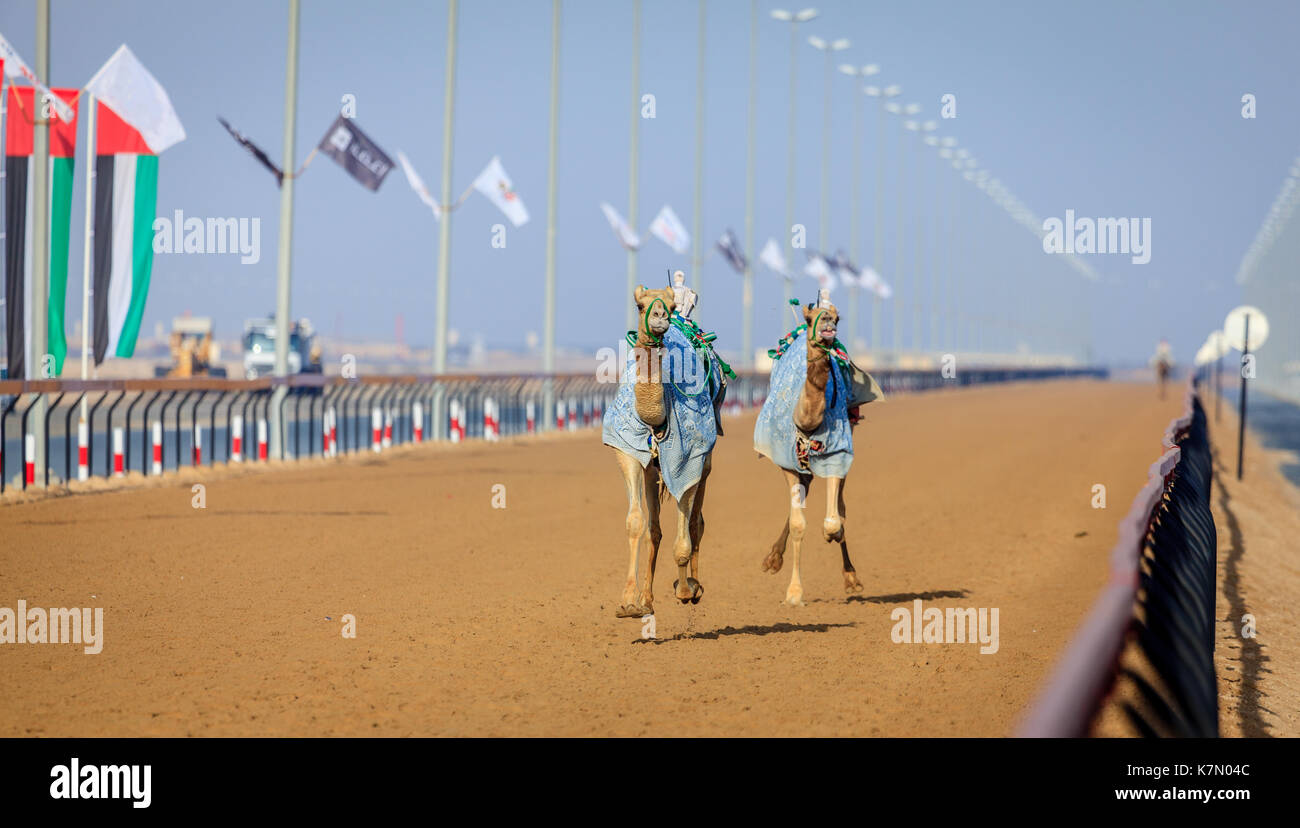 Camels with robot jokeys at racing practice near Dubai, UAE - Stock Image