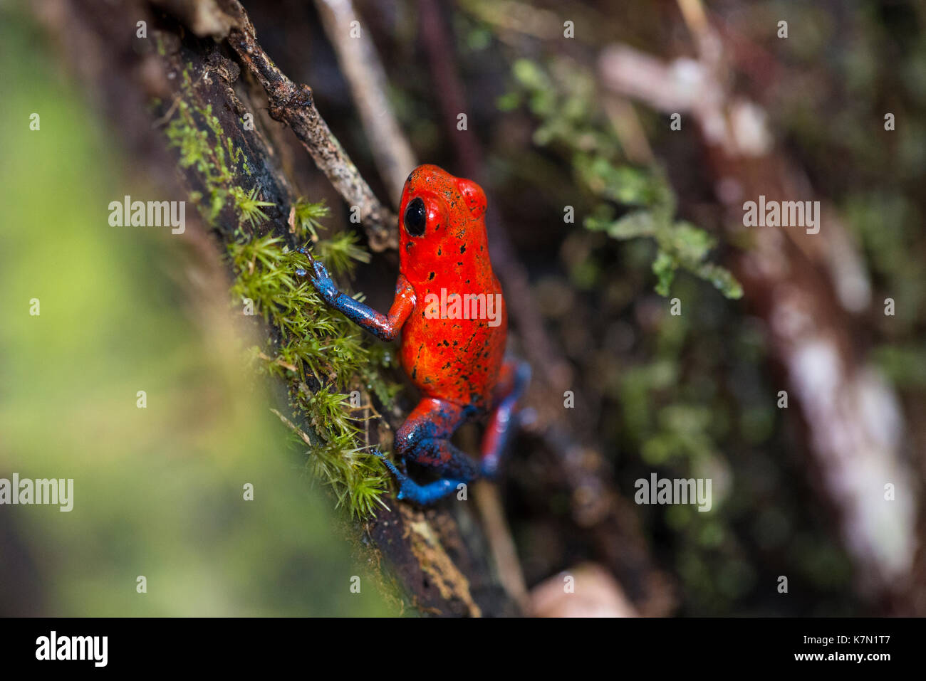 Strawberry poison-dart frog (Dendrobates pumilio), Costa Rica, Central America - Stock Image