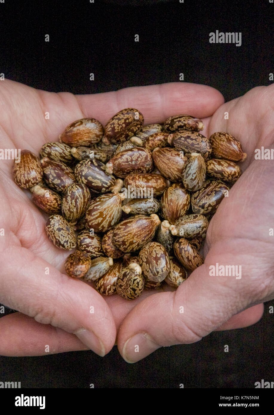 Hands Holding Seeds Of The Castor Oil Plant Ricinus Communis Stock Photo Alamy