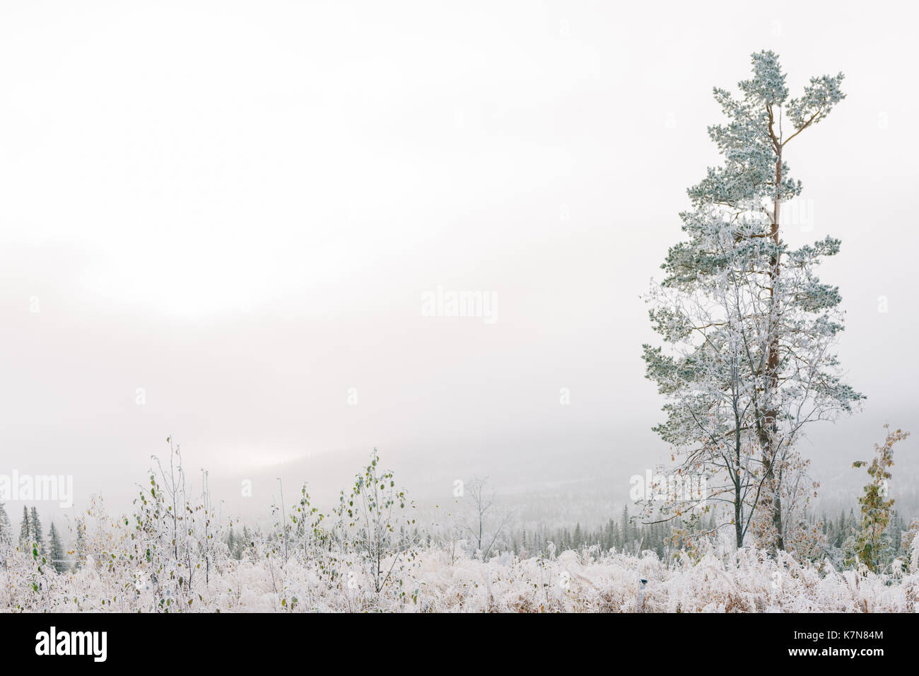 One tree in fog covered with frost - Stock Image