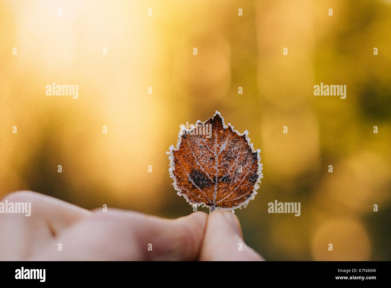 Fingers holding frozen autumn leaf - Stock Image