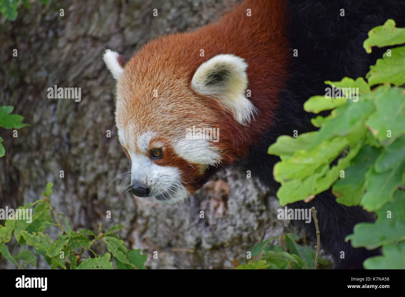 Red Panda - Lake District Wildlife Park, Bassenthwaite, Keswick, Lake District, North West England Stock Photo