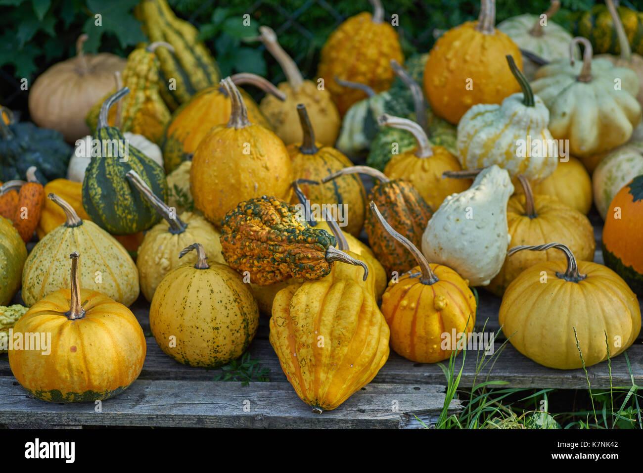 many multicolor pumpkins many multi-shaped pumpkins many colorful pumpkins Stock Photo