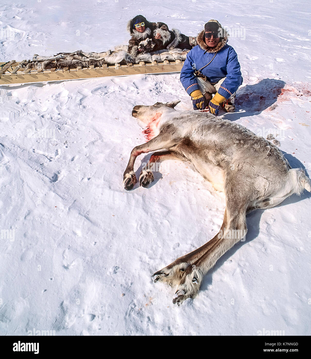 Inuit Man Beside Freshly Hunted Caribou His 11 Year Old Girl Is On Stock Photo 159673821
