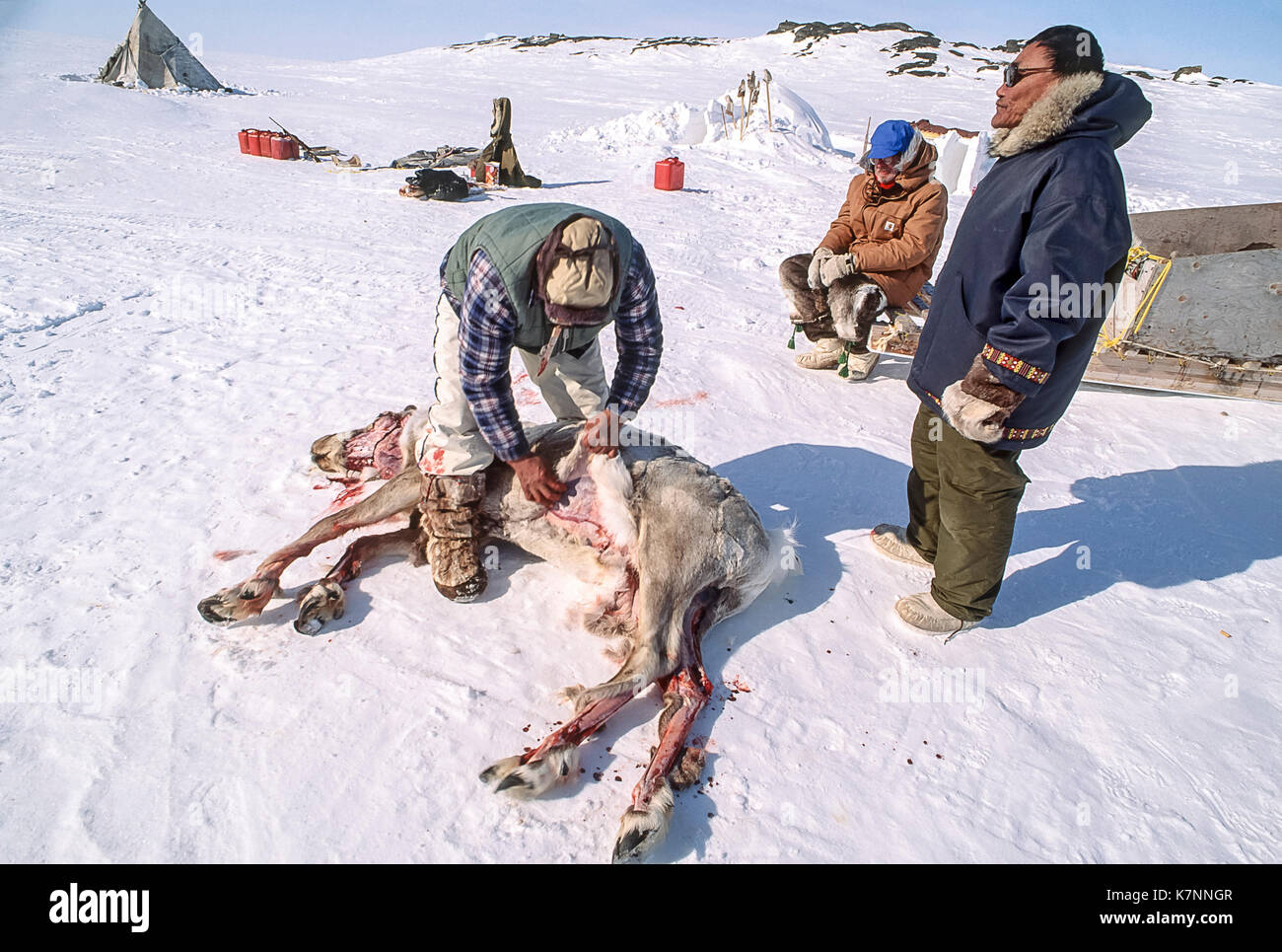 Inuit Elder Skins Freshly Killed Caribou It Was Hunted By Dogsled Using The Sled
