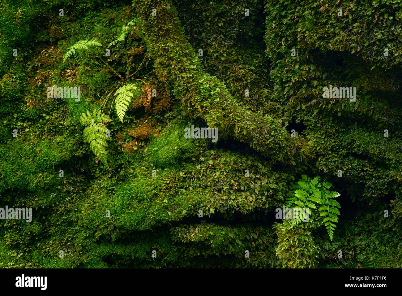 Lush moss and ferns along Kitchen Creek in Ricketts Glen State Park - Stock Image
