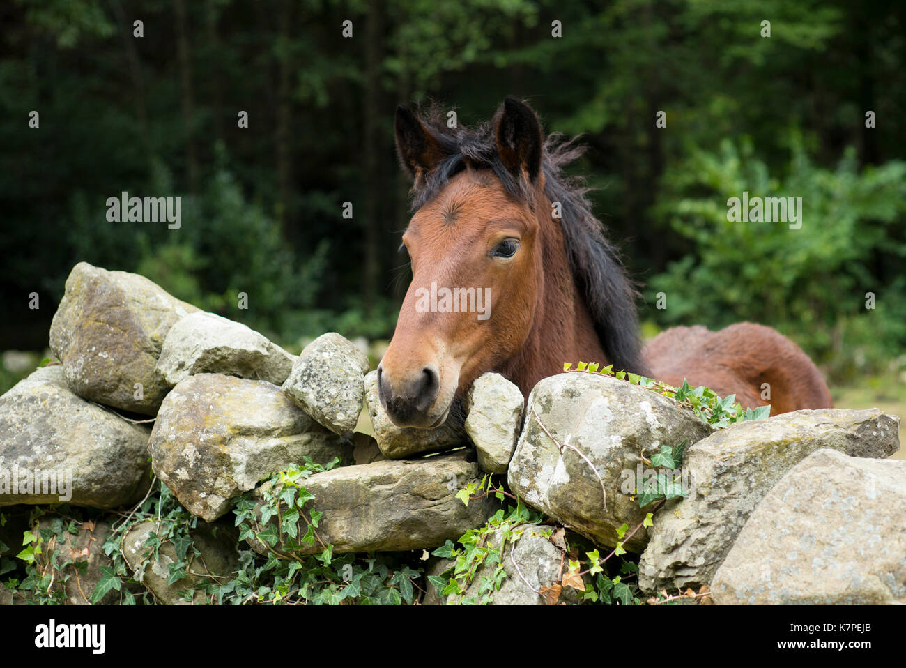 Bay horse in field looking over dry stone wall in Cantabria region of Spain - Stock Image