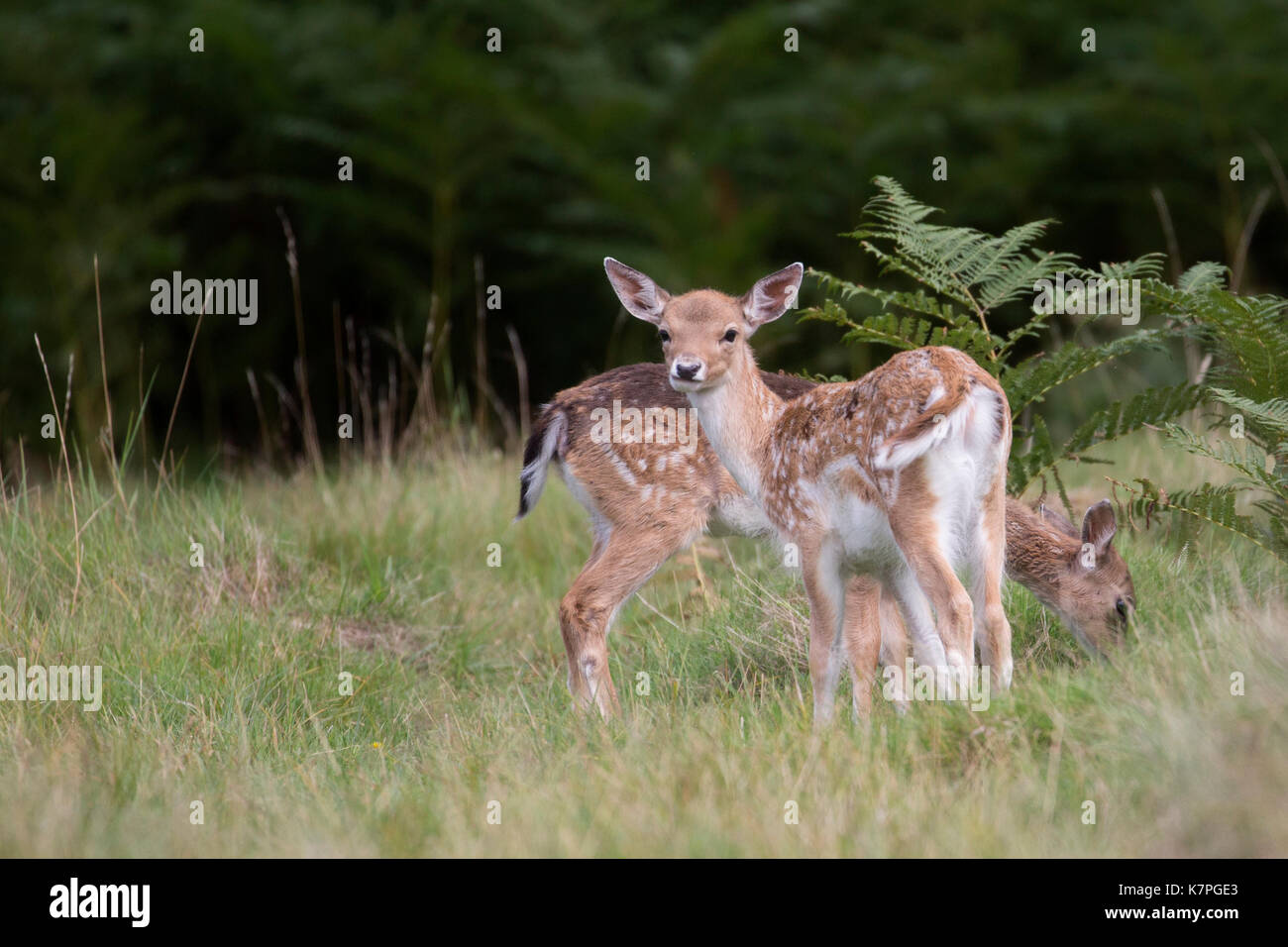 Two young Fallow Deer in a small grass clearing among some tall ferns. One looking at the camera & one eating grass. Stock Photo