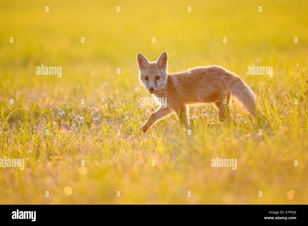 Fox cub on summer sunset - Stock Image