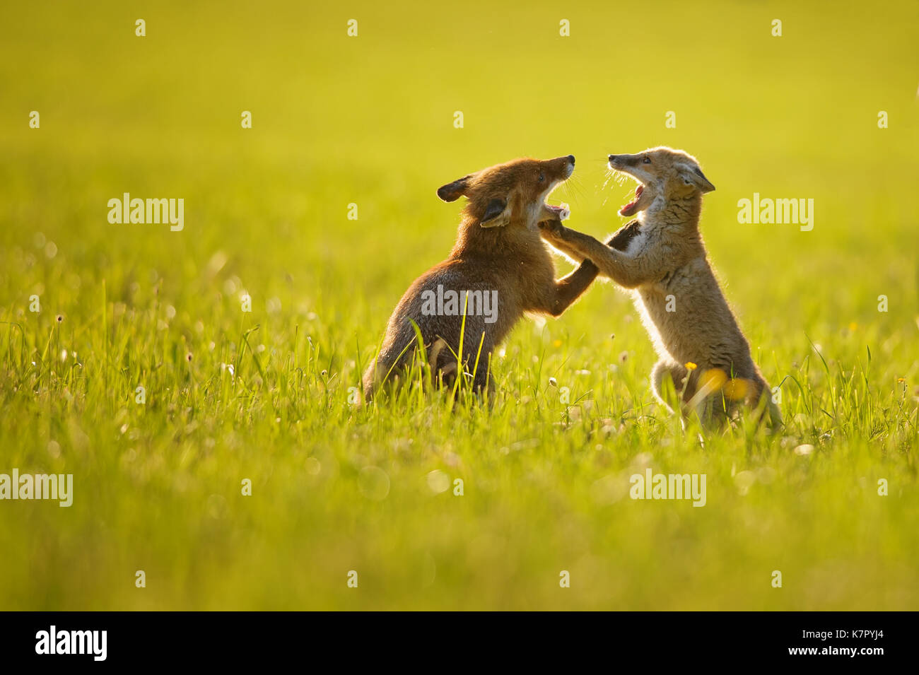Two fox cubs playing in summer sunset - Stock Image