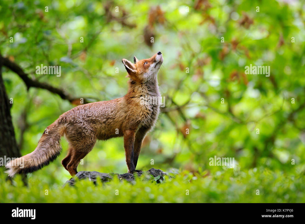 Fox with beatiful forrest background - Stock Image