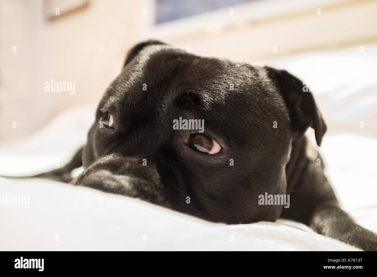 cute staffordshire bull terrier dog lying on a white bed with raised eye brows and showing the white of his eye. He looks a little bit sorry, sad or g - Stock Image