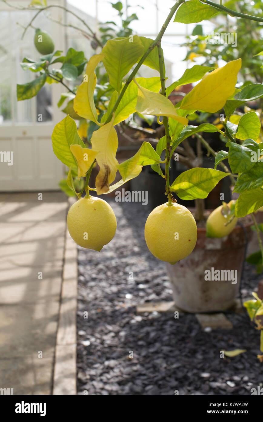 Lemon 'Eureka' tree in greenhouse - Stock Image